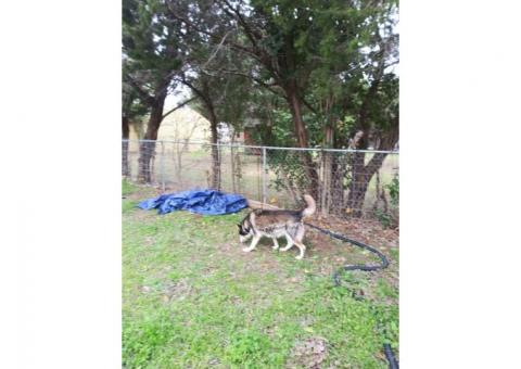 Free Husky needs a home